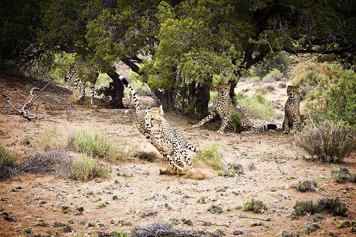 Wild Cheetahs running in South Africa.